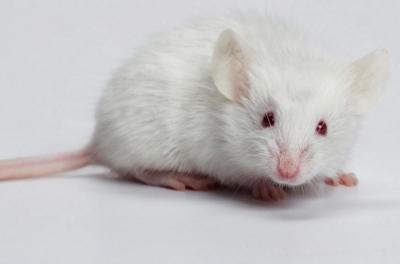 Mơ thấy chuột đánh con gì? ? Giải mã giấc mơ về chuột